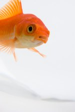 What Happens If You Keep a Goldfish in a Dark Room?
