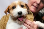 How to Keep a Terrier's Ears From Standing Up