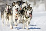 Types of Husky Dogs