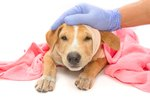 Hemorrhoid Treatment for a Puppy