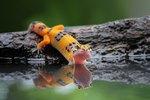 What Do Wild Geckos Eat?
