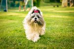 What Is the Life Expectancy of a Shih Tzu Dog?