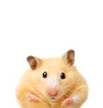 How Much Do Hamsters Weigh?