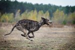 The Top Speeds of the Irish Wolfhound