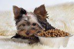 How to Feed a Yorkie Puppy