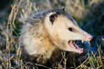 Drunk Opossum Stole Booze, Lives With No Regrets