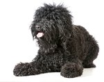 Barbet Dog Breed Facts & Information