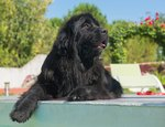 Newfoundland Dog Breed Facts & Information