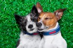 Are Dogs Monogamous?