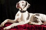 Pet Insurance Helps A Great Dane Named Tank