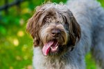 Wirehaired Pointing Griffon Dog Breed Facts & Information