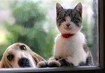 13 Cat Breeds That Get Along With Dogs