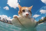 This One-Eyed Cat Did the Impossible: He Learned to Surf!