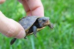 What Foods Do Baby Turtles Eat?