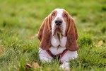 About Hound Dog Breeds