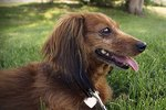 About Miniature Long-Haired Dachshunds