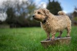 About Norfolk Terriers