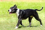 American Staffordshire Terrier Temperament