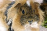 Average Lifespan of a Guinea Pig