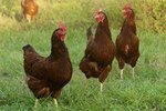 Best Chicken Breeds for Beginners