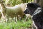 Border Collies vs English Shepherds