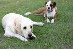 Boxers vs. Labradors for Family Pets