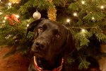 Can Pine Tree Needles Make Dogs Sick?