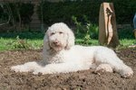 Can a Dog Get Sick From Manure?