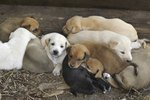 Can A Litter Of Puppies Have Multiple Fathers?