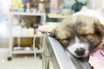 Can a Puppy Survive Canine Herpes?