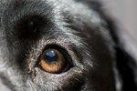 Canine Anisocoria