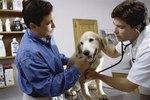 Canine Fungal Rhinitis