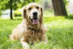 Canine Osteosarcoma Causes & Diagnosis
