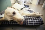Canine Uterine Infections