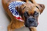Characteristics of American Boxers