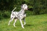 Characteristics of Dalmatians