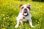 Characteristics of English Bull Dogs