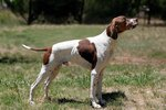 Characteristics of English Pointers