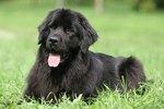 Characteristics of Newfoundland Dogs