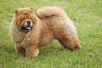 Chow Chow Dogs and Hip Dysplasia