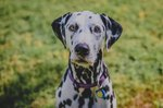 Common Health Issues of Dalmatians