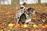 Common Problems with Catahoulas