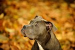 Determining a Pit Bull's Bloodline