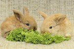 Diet Requirements for Pet Rabbits