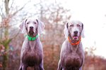 Differences Between Male and Female Weimaraners