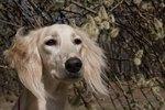Do Dogs' Ears Help Them Keep Cool?