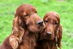 Do Dogs Recognize Their Grown Offspring?