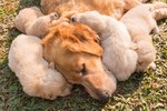 Do Female Dogs Live Longer If They Give Birth?