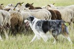Do Herding Dogs Need to Learn How to Herd?