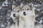 Dog Breeds Most Closely Related to Wolves